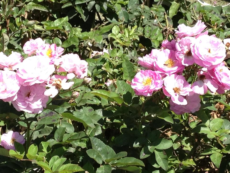 Tường Vy mấy đóa muộn phiền... Sầu đâu thầm nở hiện tiền hương hoa.