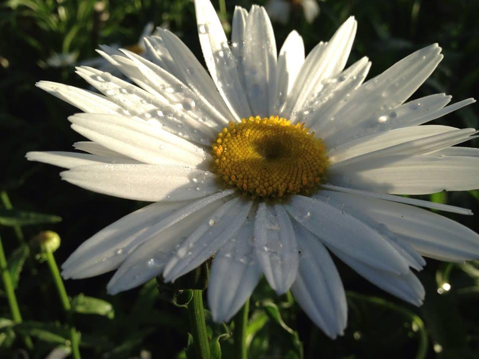 Margueritte trắng trên đoạn đường vắng